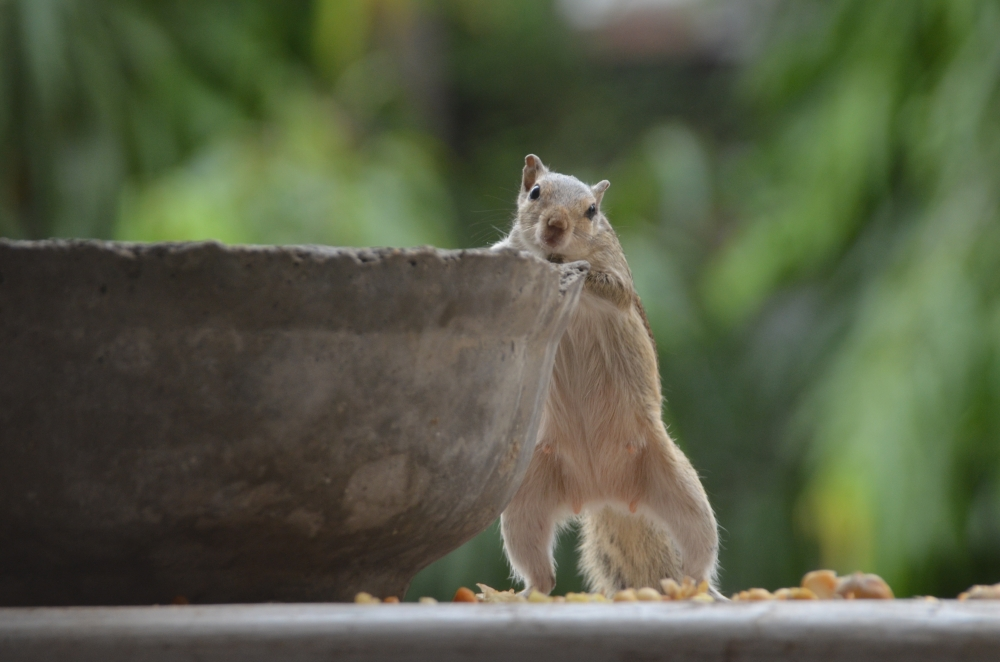 squirrel photography, Squirrel, dslrcamera, DSLR, dslrphotography, looking, Lovely, Lovely background, Lovely, lovely attractive, female, Photography, @photography, Animal, trending, trending pgclick ., trendingphotos,