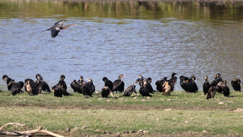 Group - Grater Cormorant, nature, beautiful, birding, wildlife