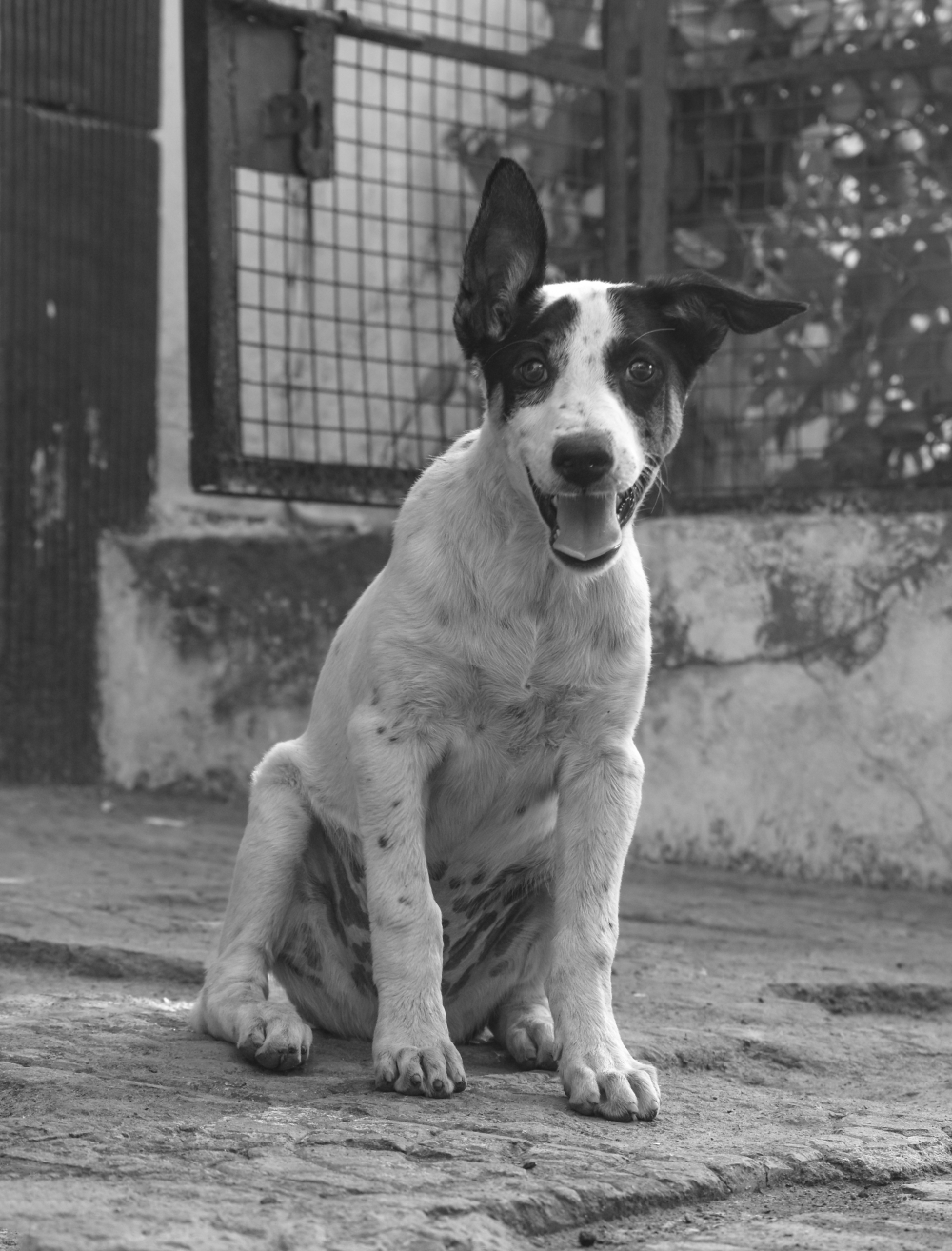 black and white puppy, happy, puppy, Cute puppy, Animal, Photography, dog, Animal, smile,