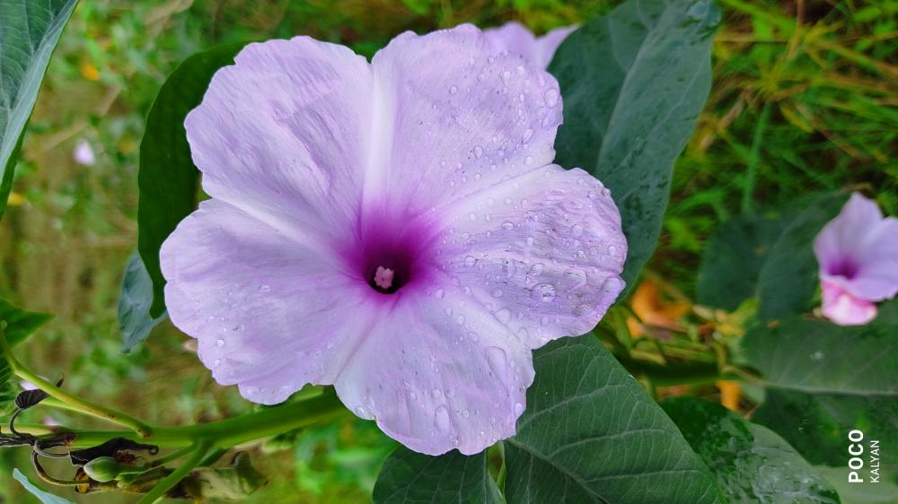Flower and Rain, Flower,rain,drop,water,