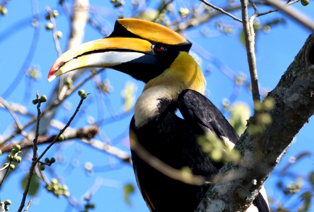 Great Hornbill, nature, beautiful, wildlife, birding, travel