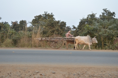 COW CART MOVES  TO HOME AT DAY END