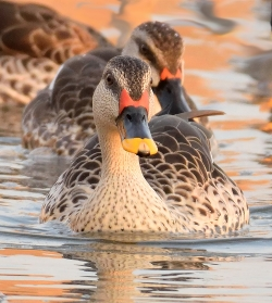 Face off with a Spotbilled Duck